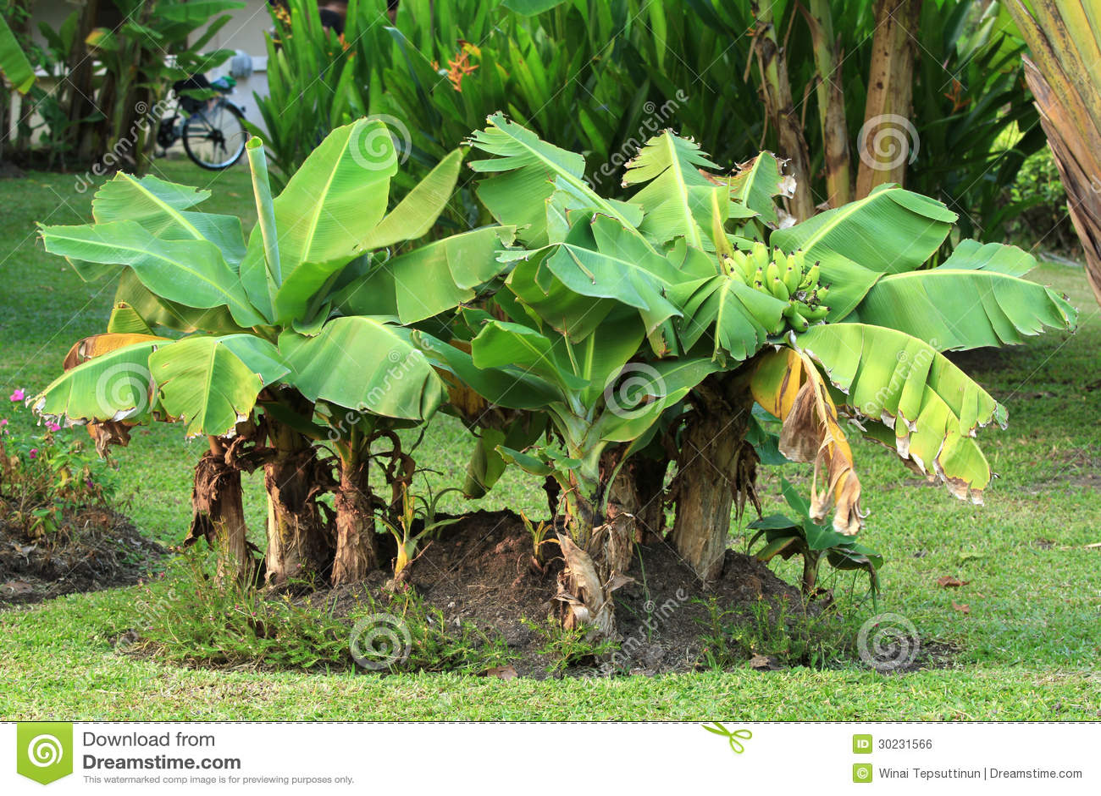 Bananier nain image libre de droits image 30231566 for Banano de jardin