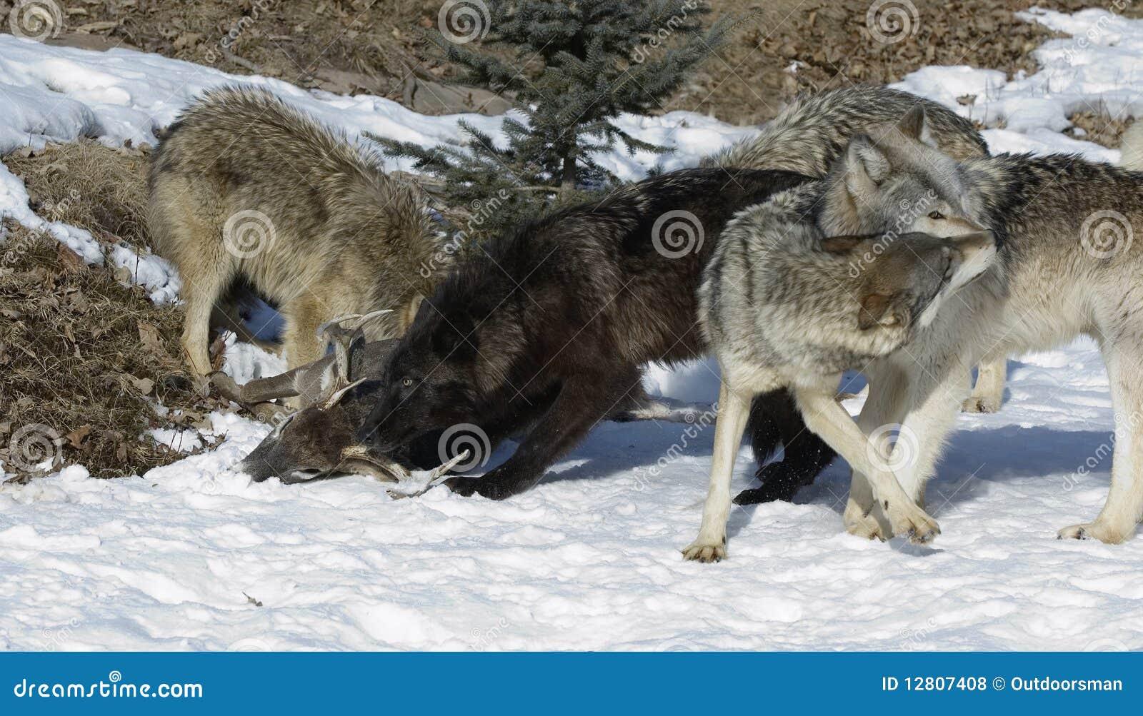 Bloco de lobo pela matança dos cervos