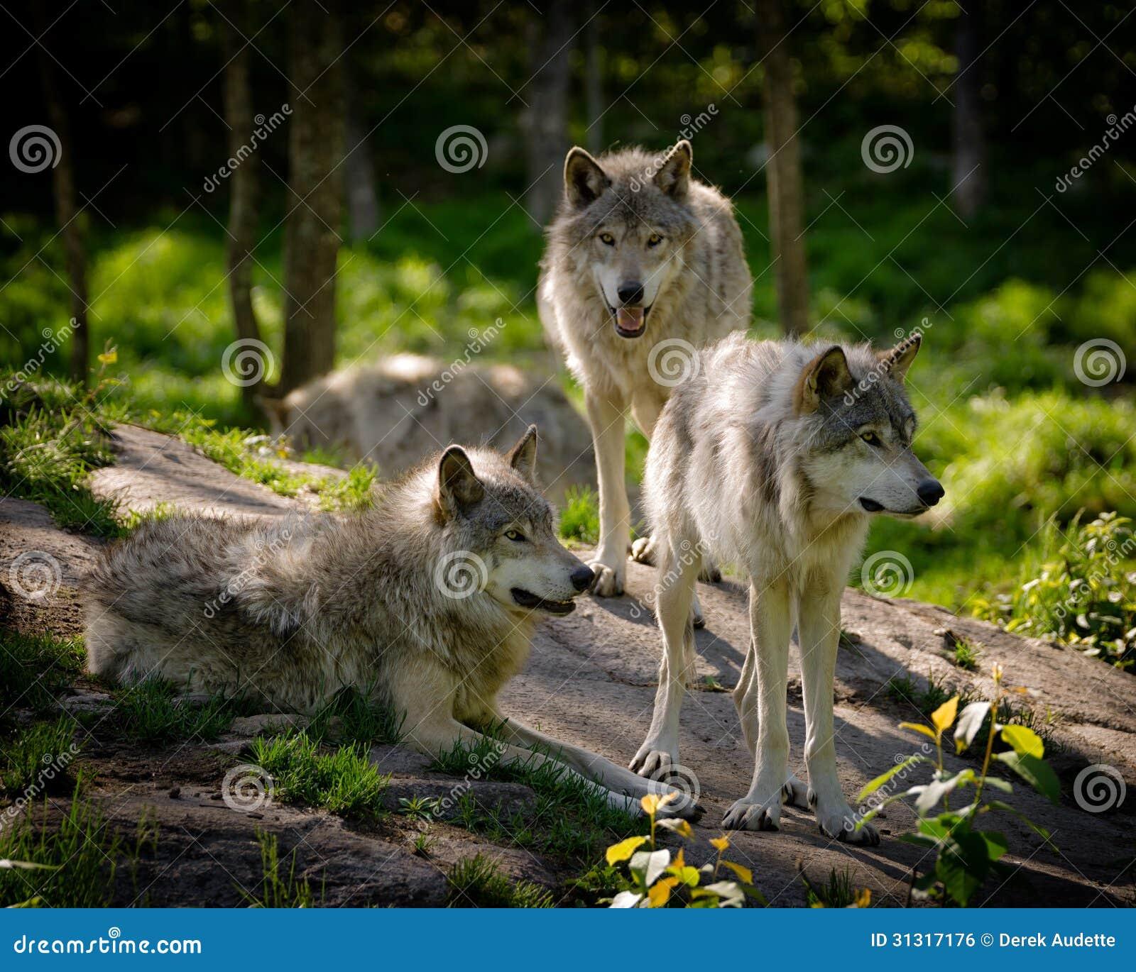 Bloco de três lobos oriental da madeira