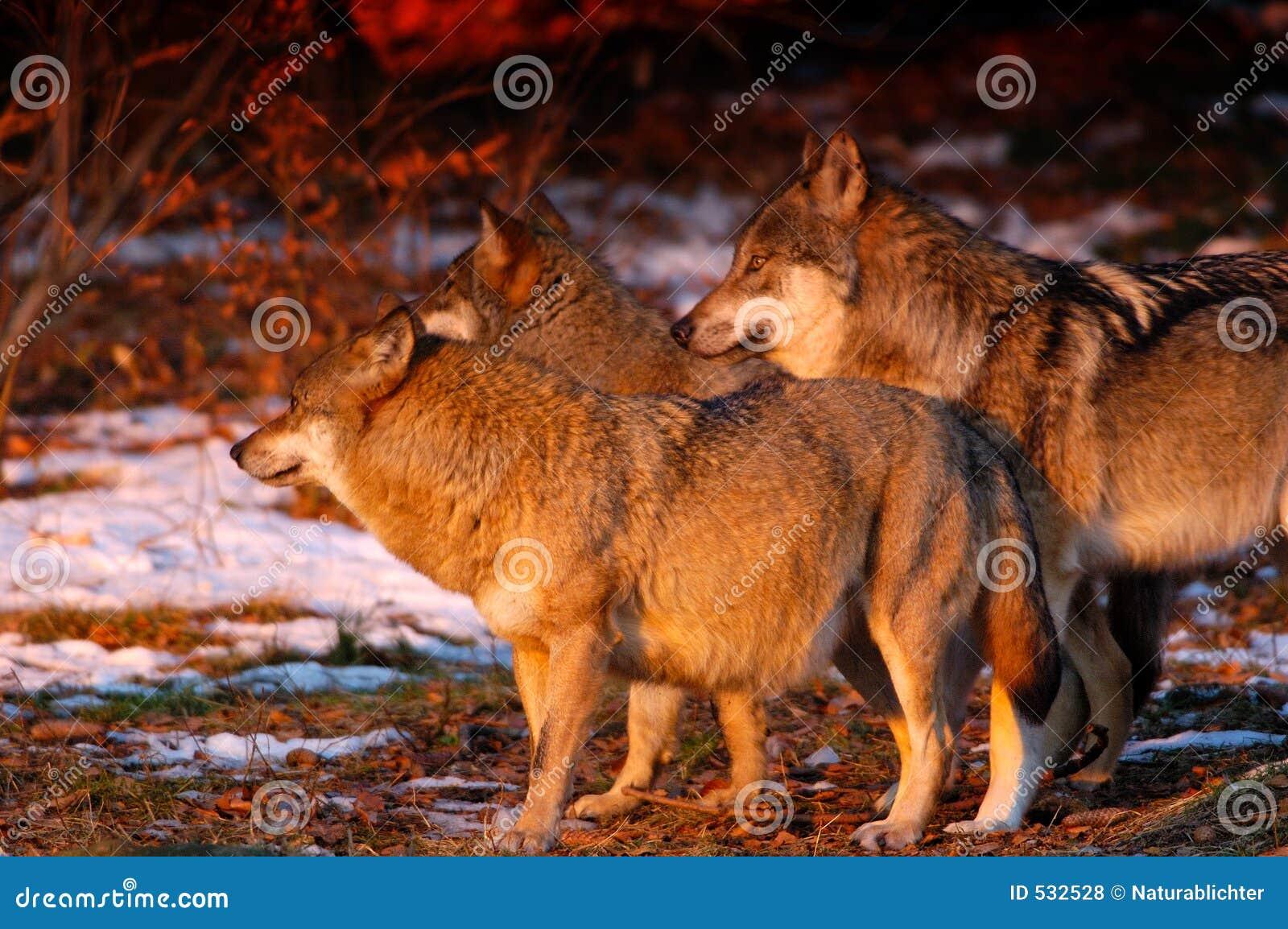 Bloco de Wolfâs no nascer do sol