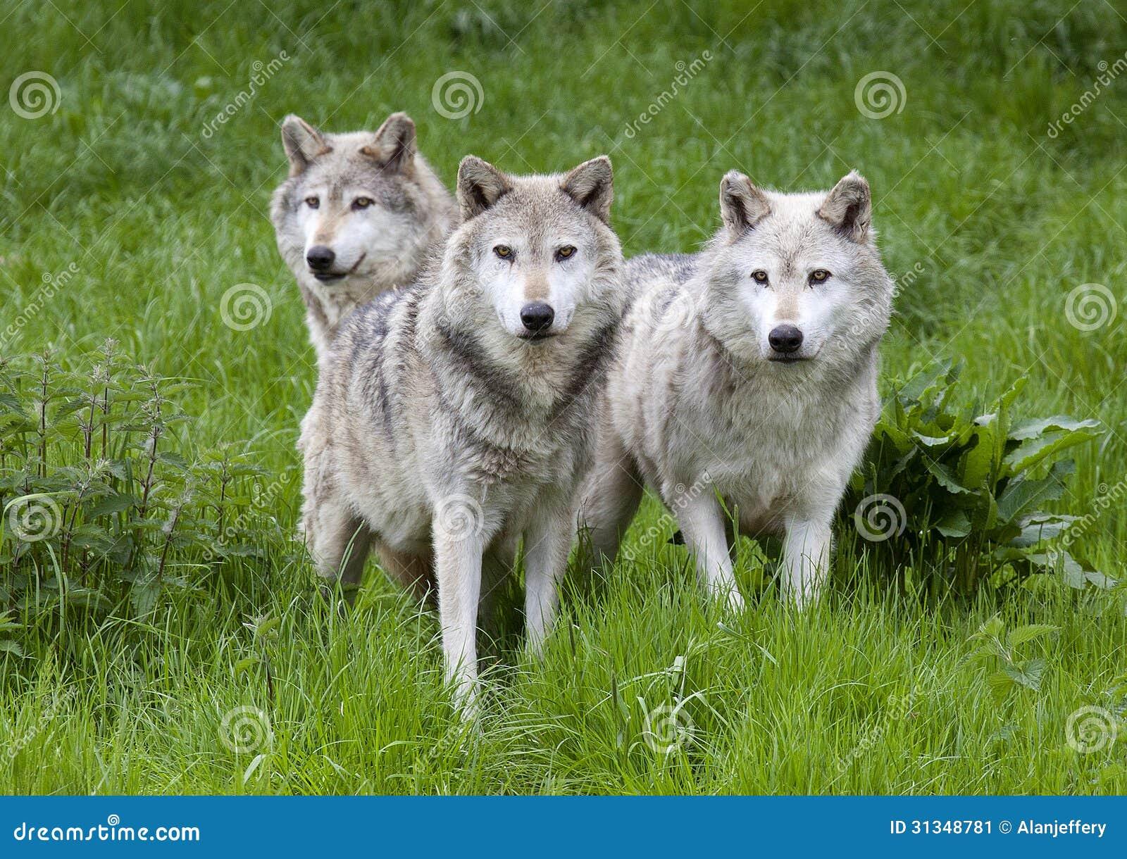 Bloco três do europeu Grey Wolves