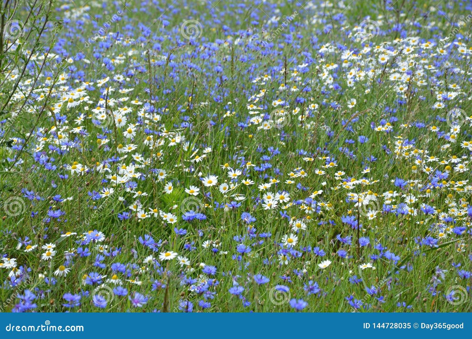 Bloeiend gebied met madeliefjes en korenbloemen Wildflowersachtergrond