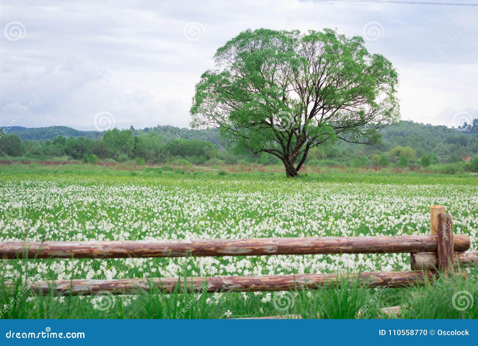 Bloeiend groen gebied met eenzame eiken boom achter houten omheining