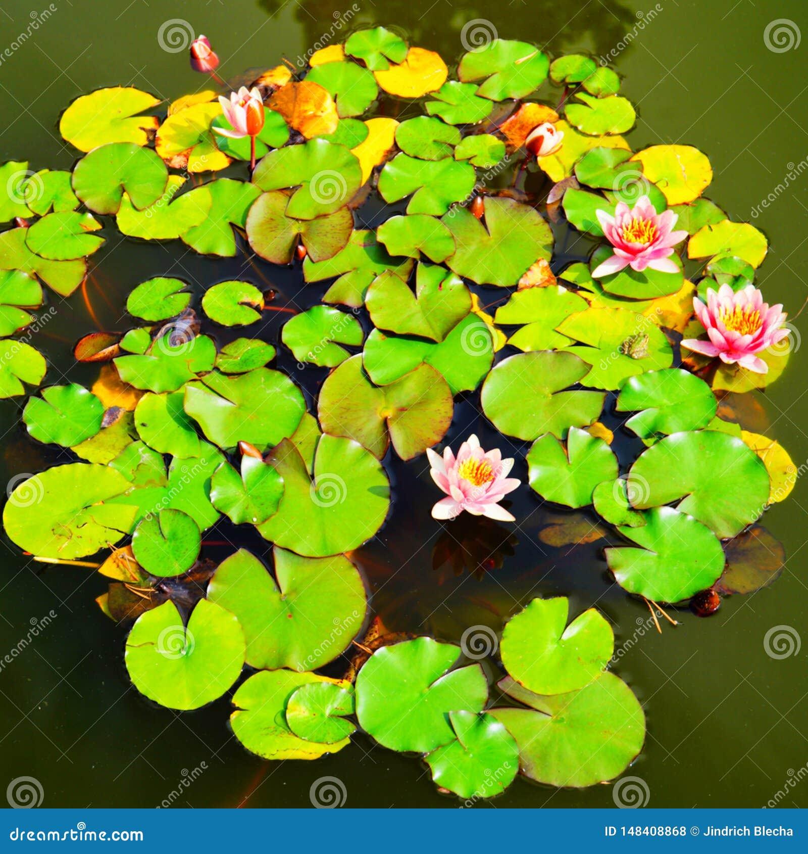 Bloeiend Water Lillies