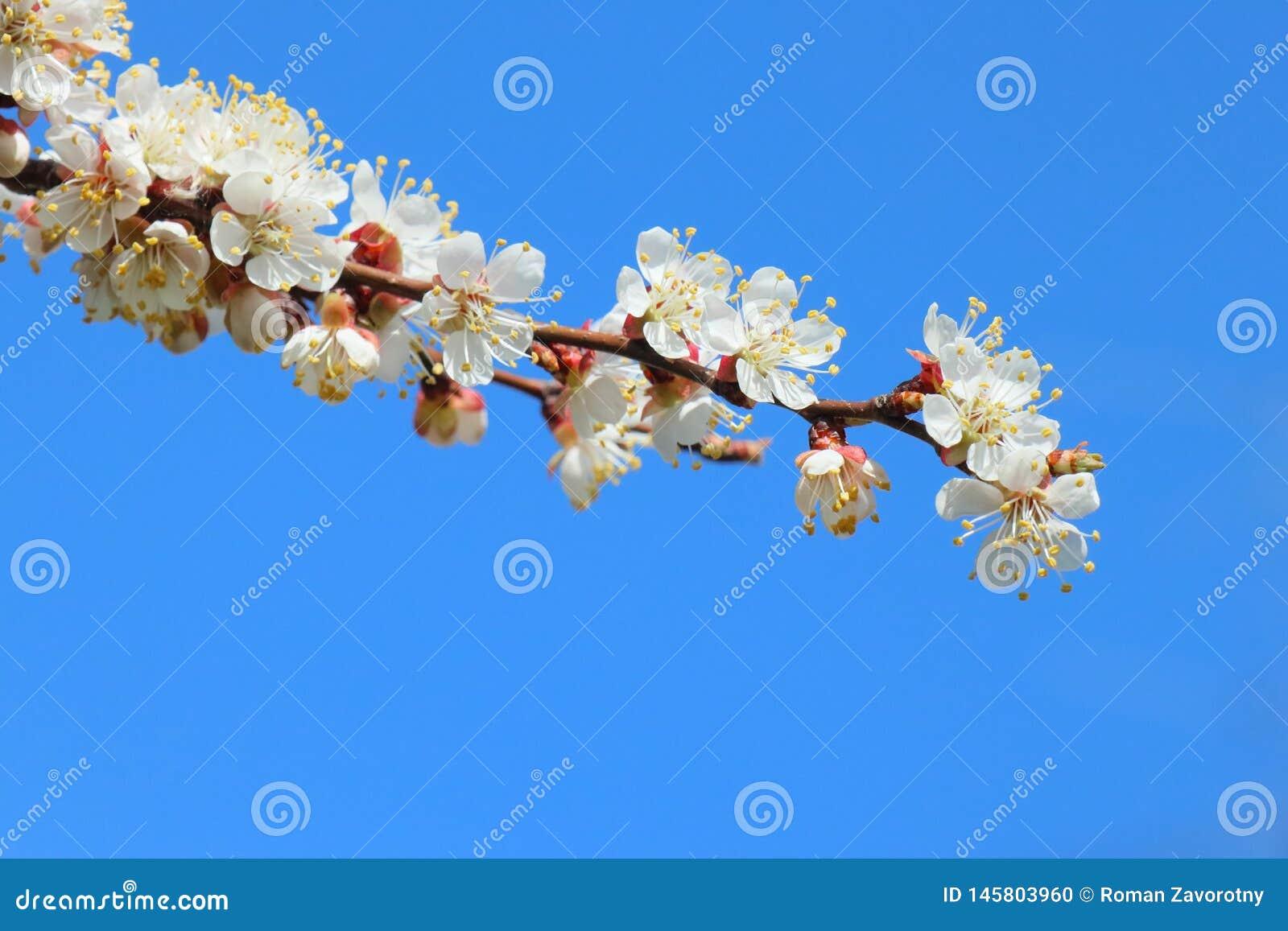 Bloeiende abrikozentak