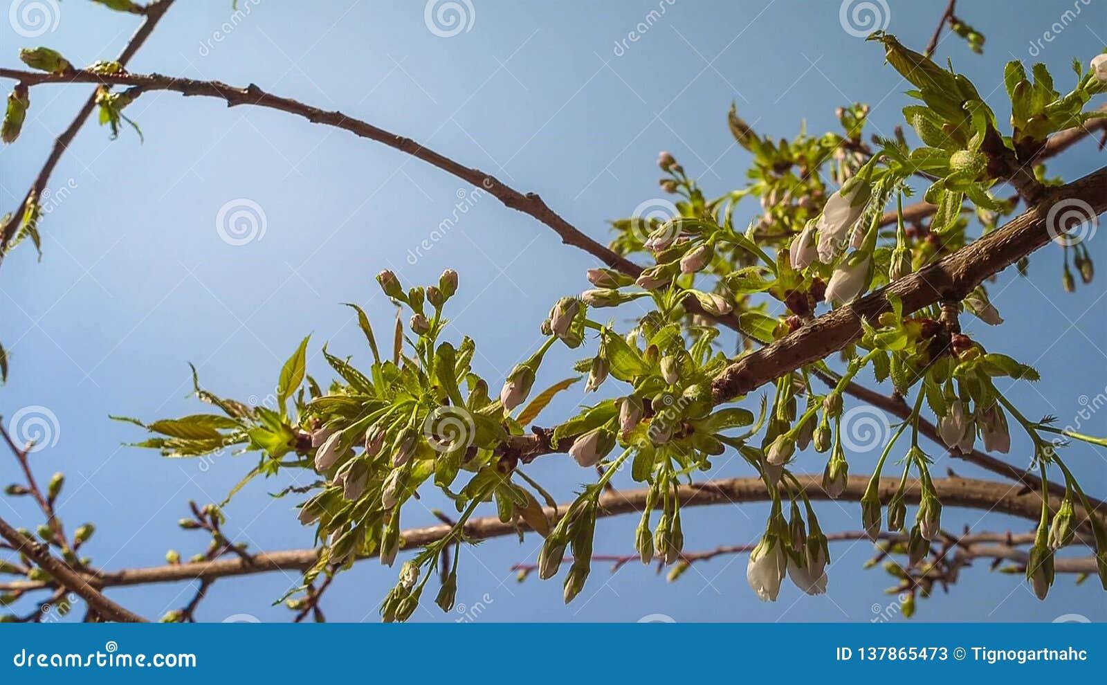 Bloeiende boom in de tuin op de blauwe hemelachtergrond De lente, sluit omhoog