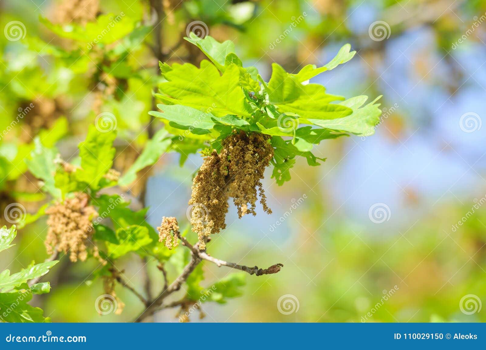 Bloeiende gemeenschappelijke eik of pedunculate eiken Quercus robur