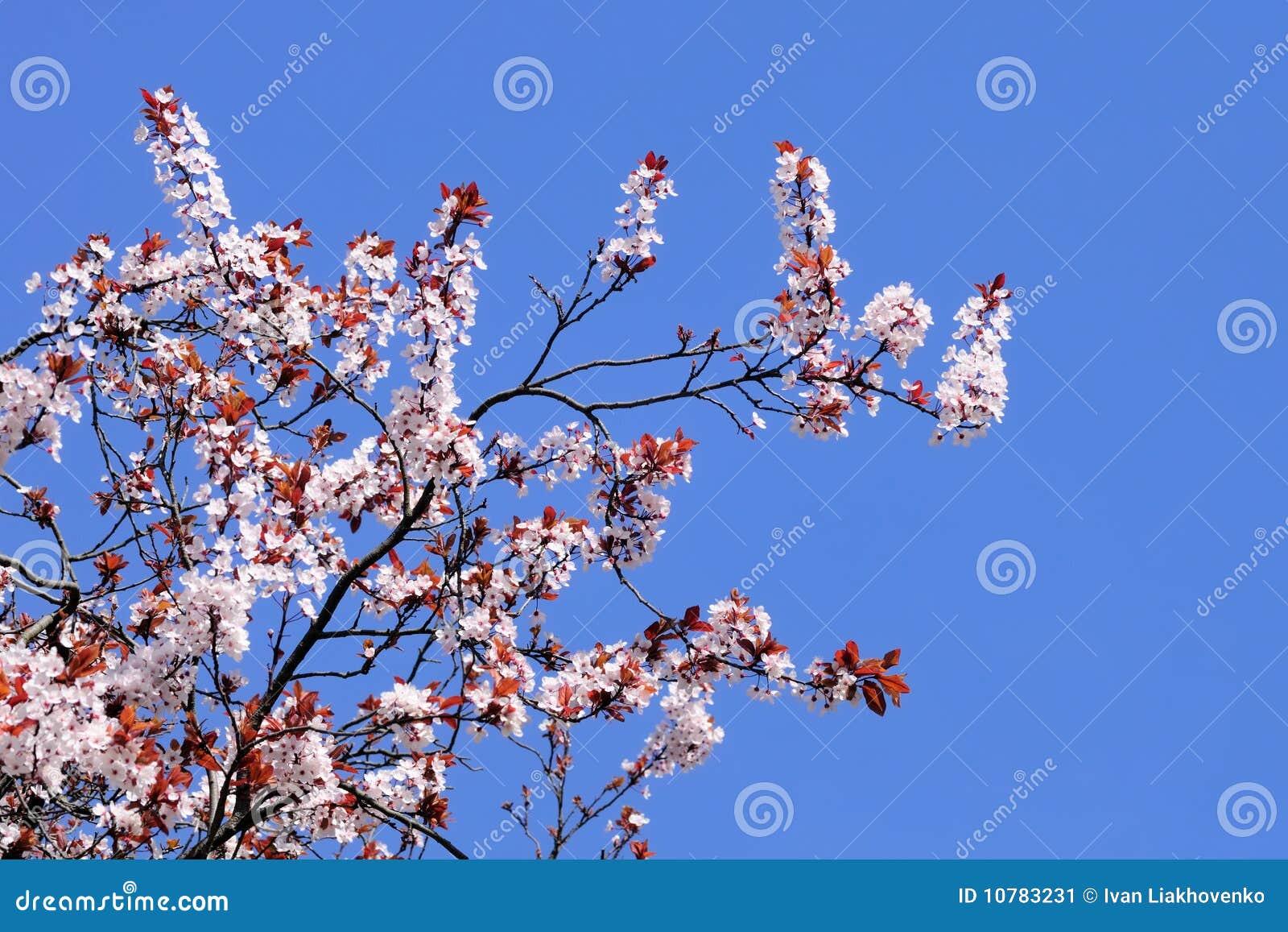 Bloeiende kersenboom met duidelijke blauwe hemel