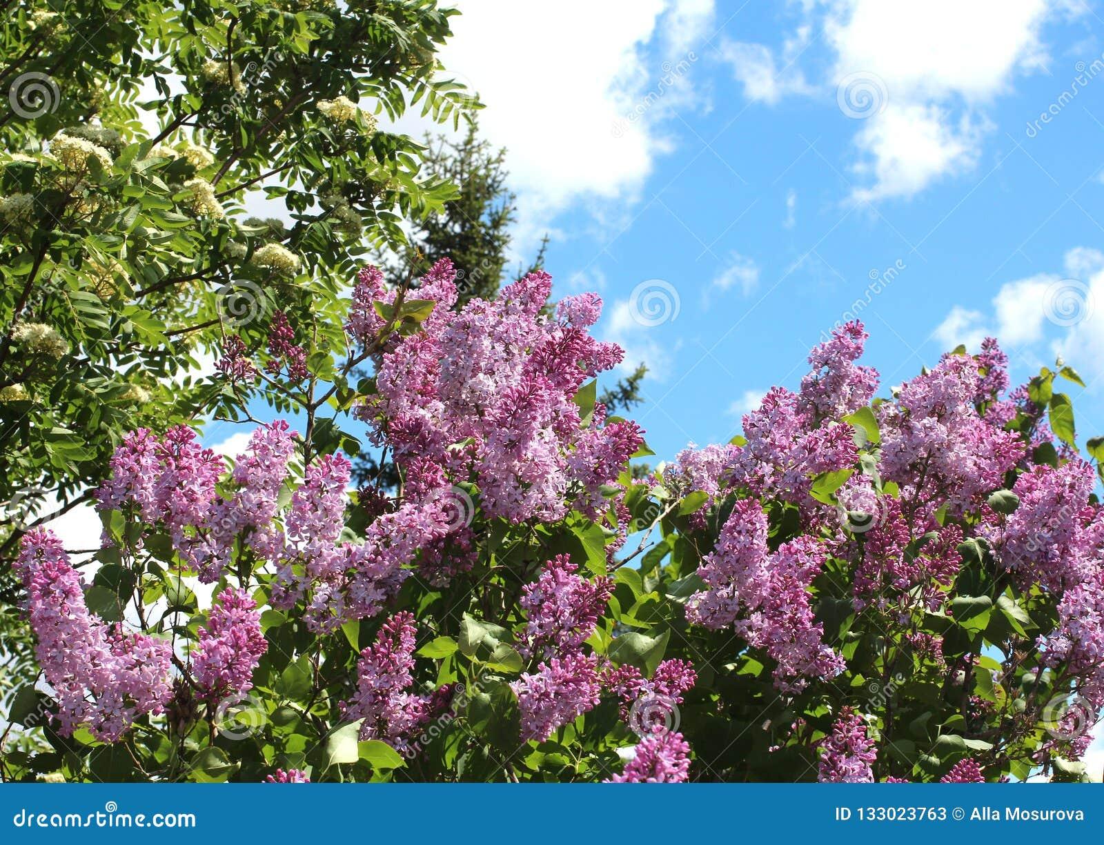 Bloeiende lilac struiken in Siberië tegen de blauwe hemel