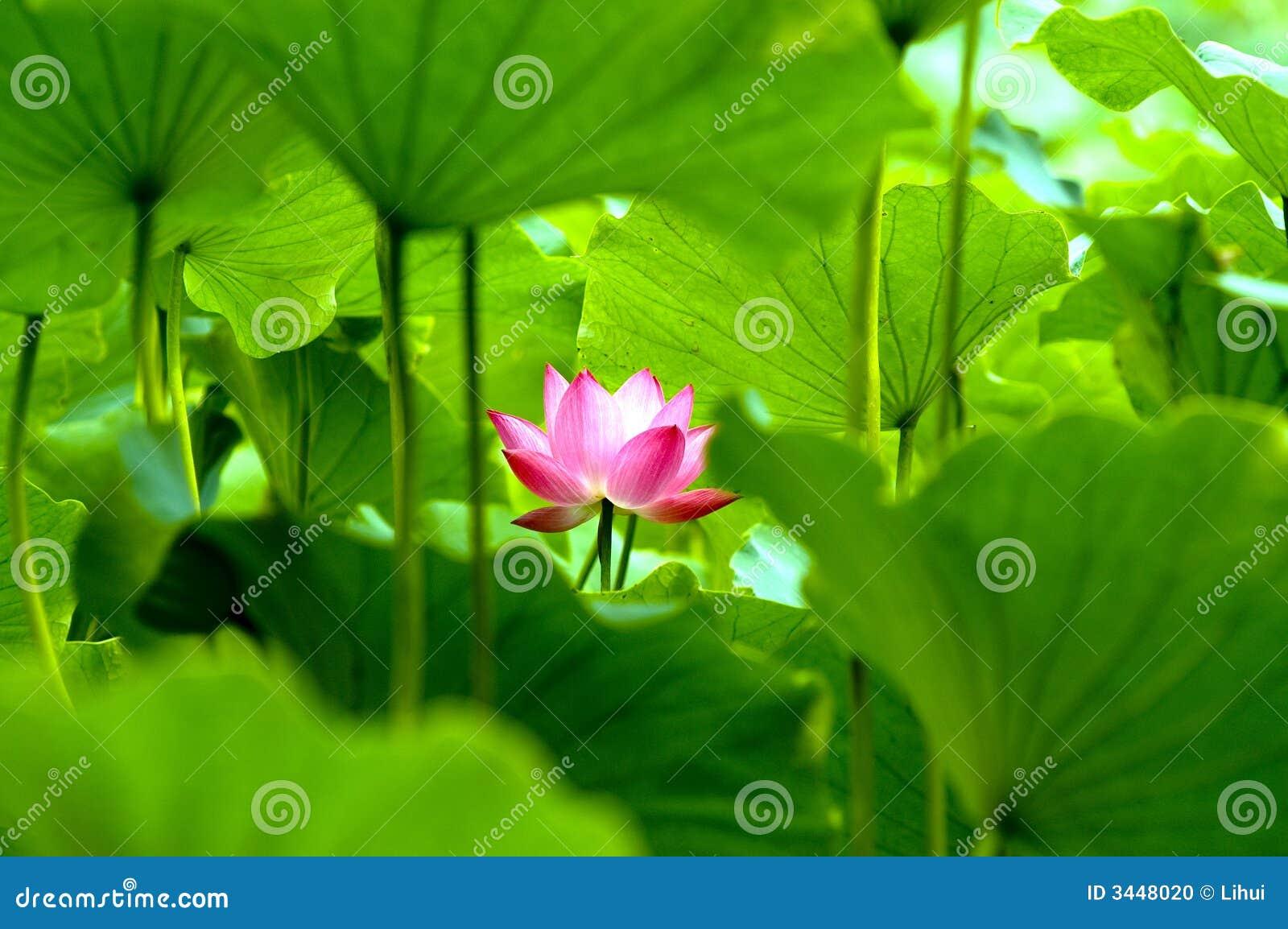 Bloeiende lotusbloembloem