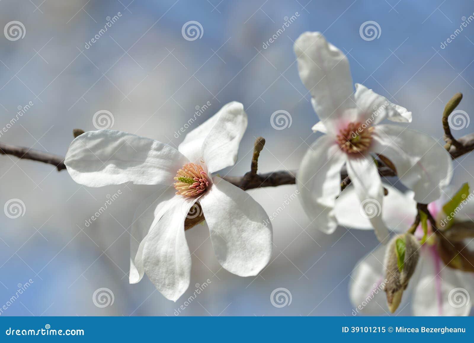 Bloeiende magnoliaboom in de lentetuin