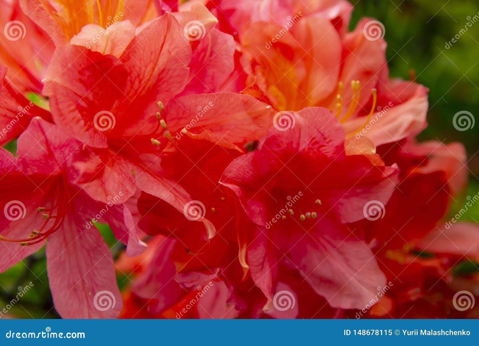 Bloeiende rode tuinbloemen in de lente op een zonnige dag