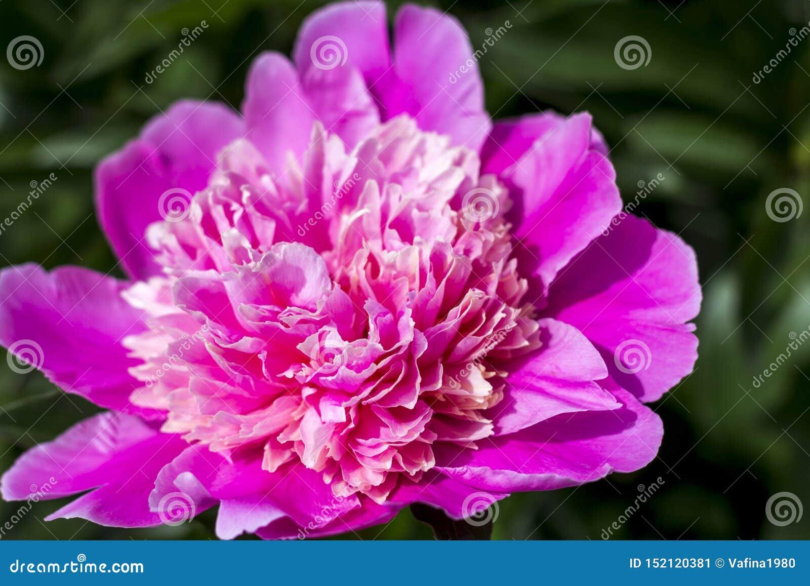 Bloeiende roze pioen in de de zomertuin