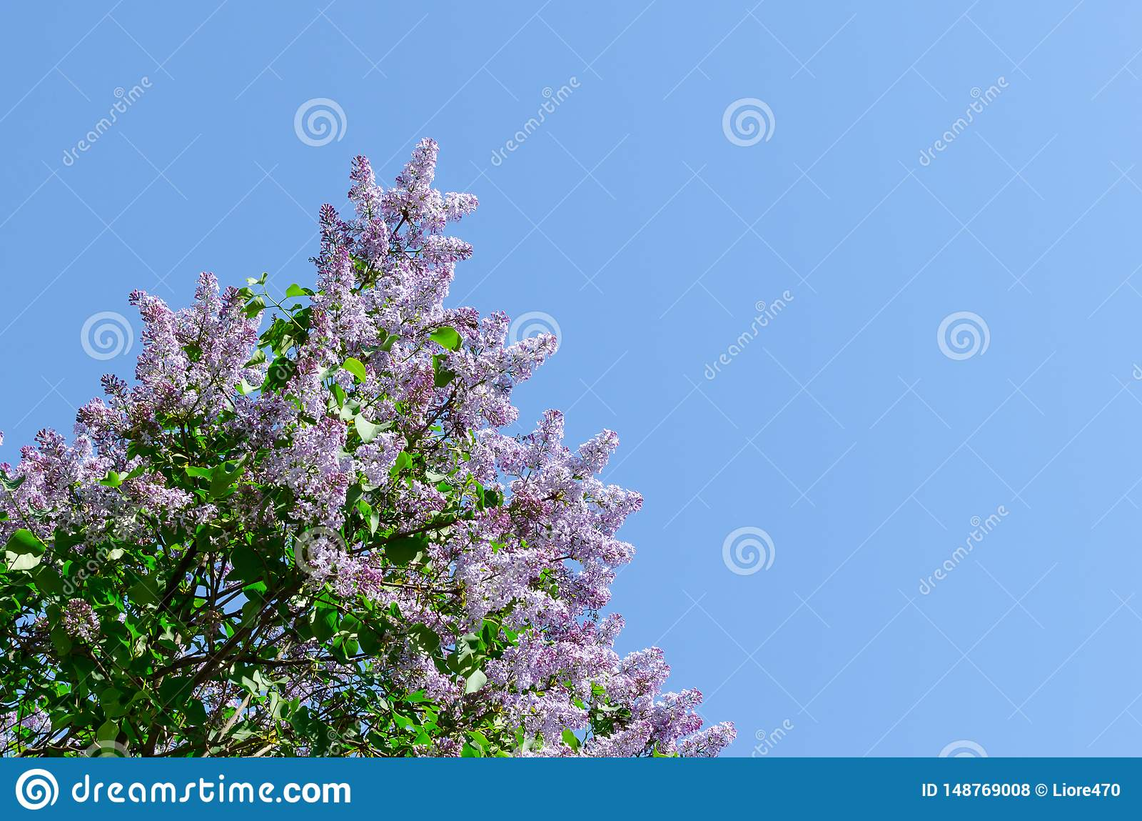 Bloeiende sering tegen de blauwe hemel Het wekken van aard Het concept van de lente De ruimte van het exemplaar