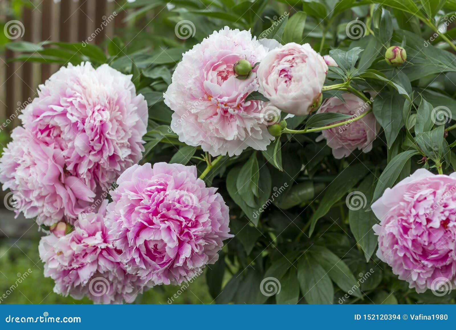 Bloeiende struik roze peonyies in de de zomertuin