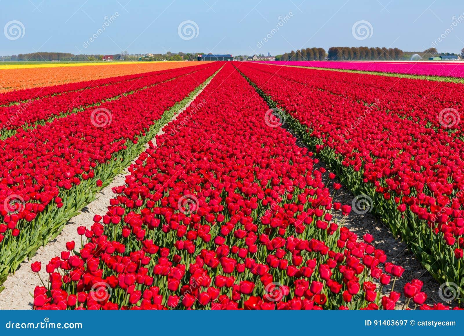 Bloeiende tulpengebieden