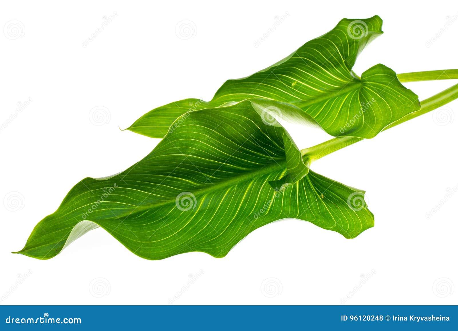 Bloeiende witte calla met groene bladeren op lichte achtergrond