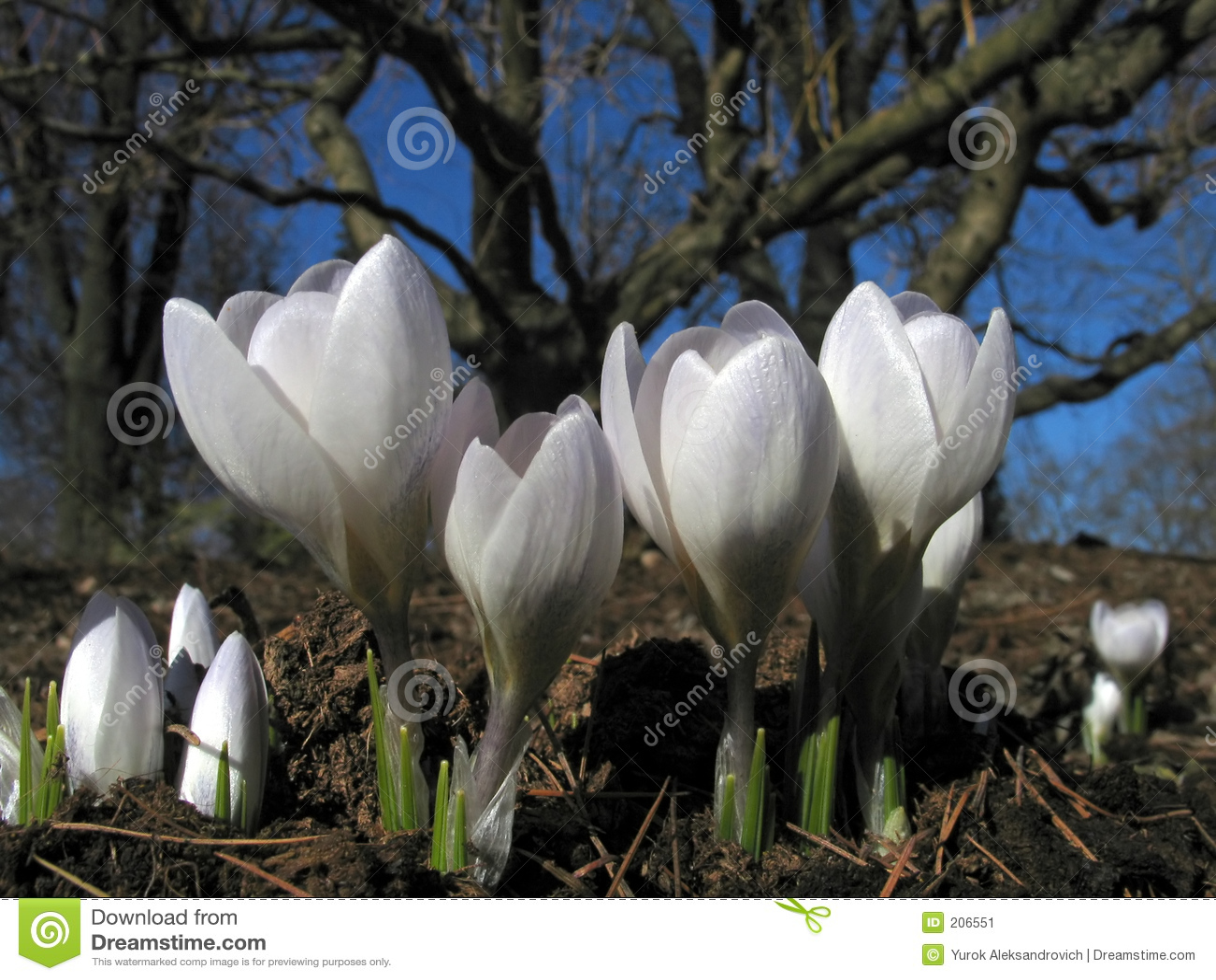 Bloeiende witte krokussen