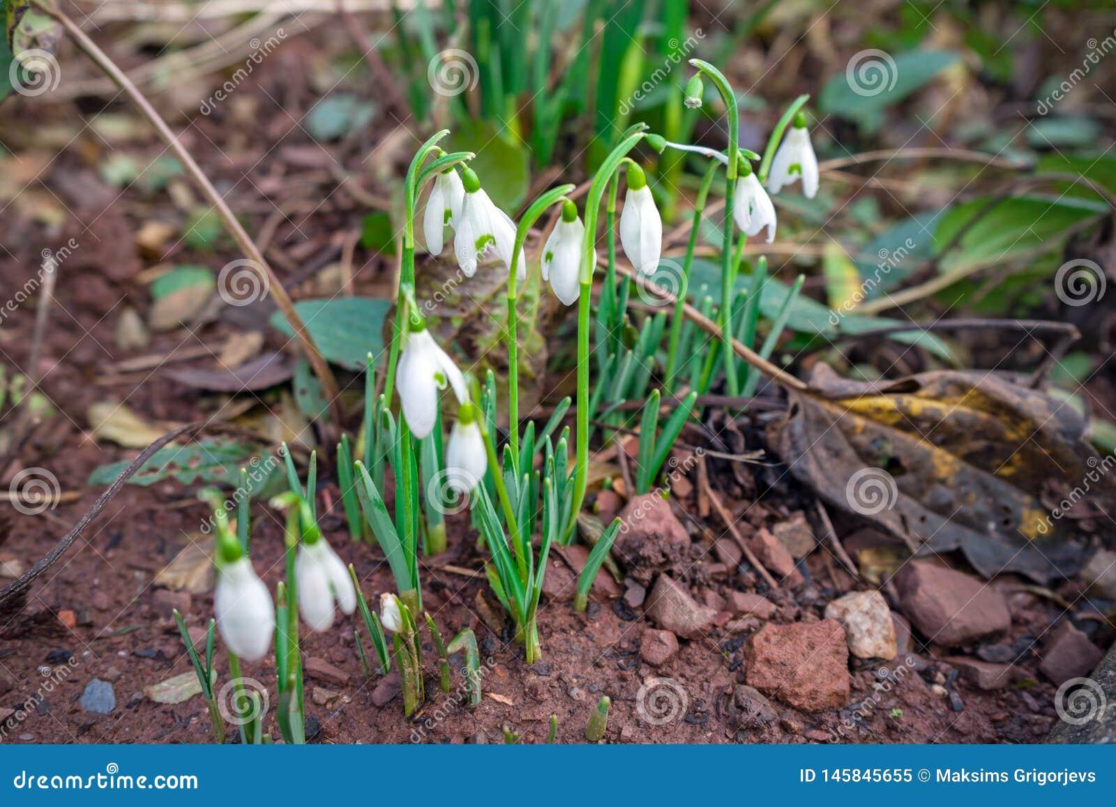 Bloeiende witte sneeuwklokjesbloem in de lentetuin