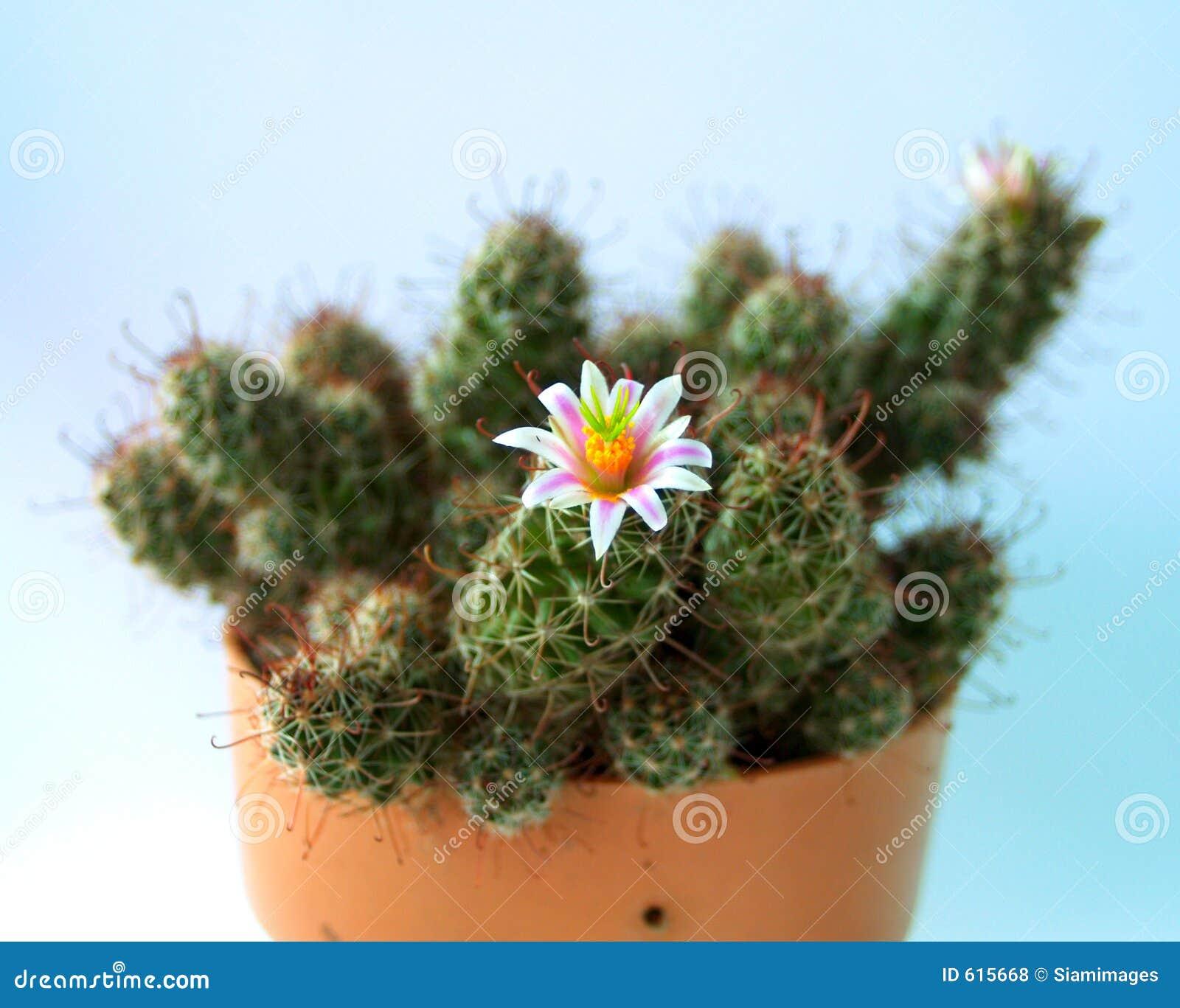 Bloem 01 van de cactus