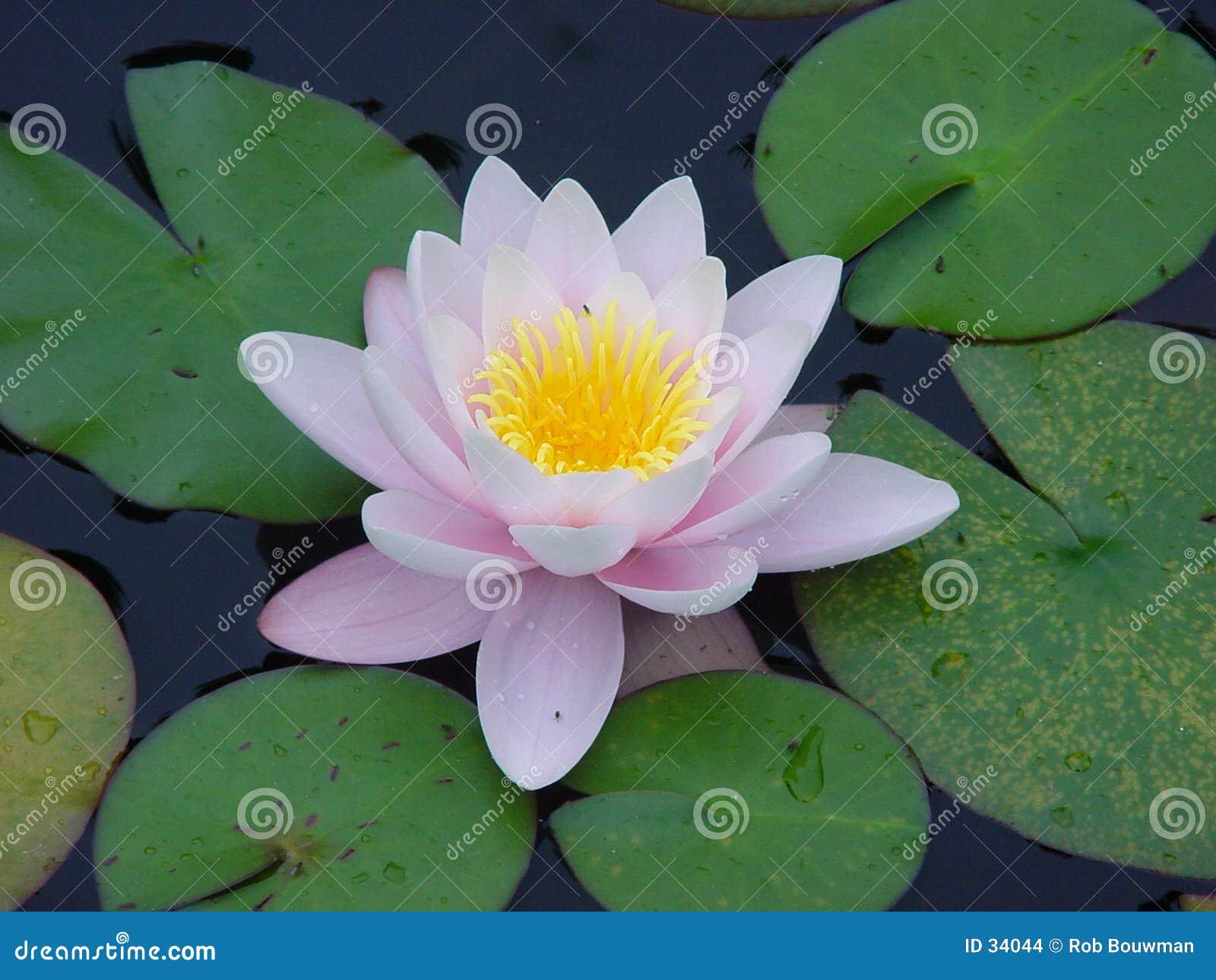 Download Bloem stock foto. Afbeelding bestaande uit lilly, nave, water - 34044