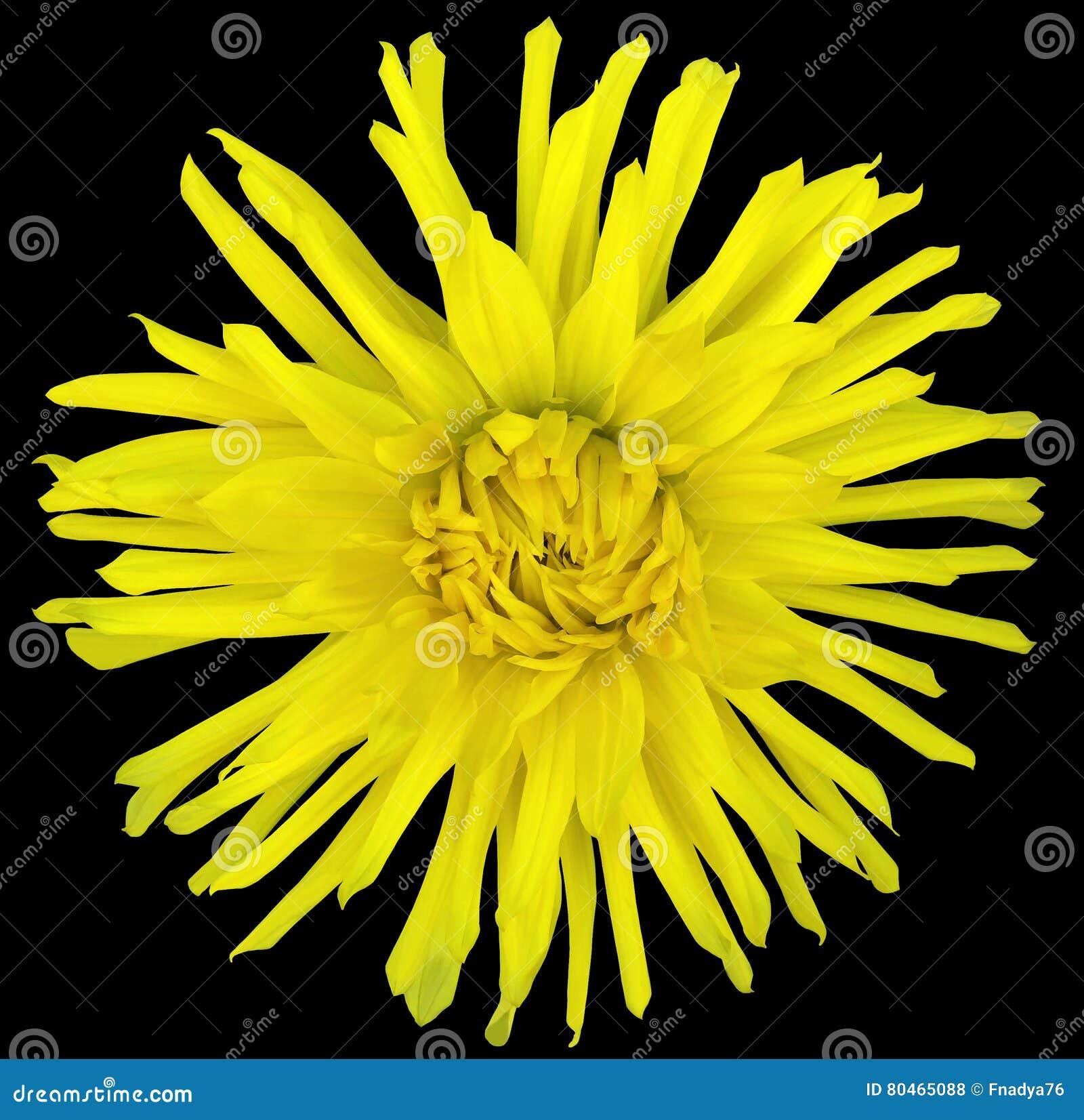 Bloem geel op een zwarte achtergrond die met het knippen van weg wordt geïsoleerd close-up grote ruwharige bloem aster