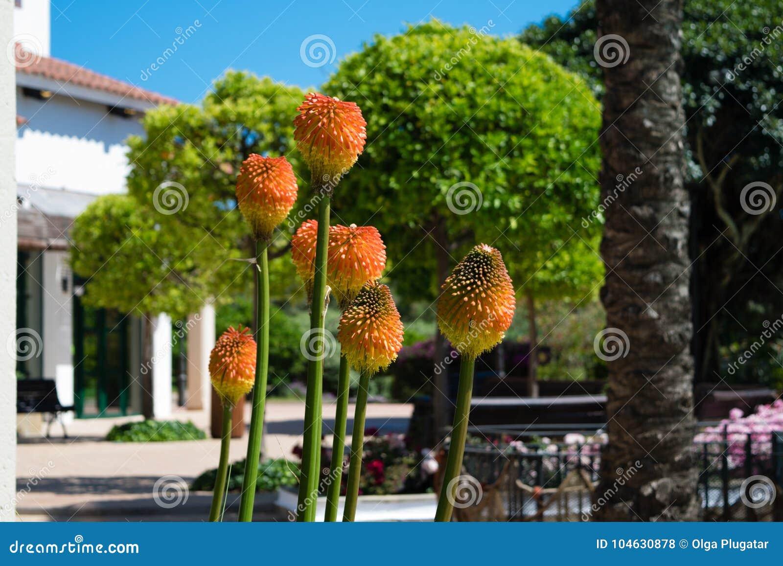 Download Bloem Van Een Toortslelie, Kniphofia-uvaria, Tritoma Stock Foto - Afbeelding bestaande uit plantkunde, bloemblaadje: 104630878