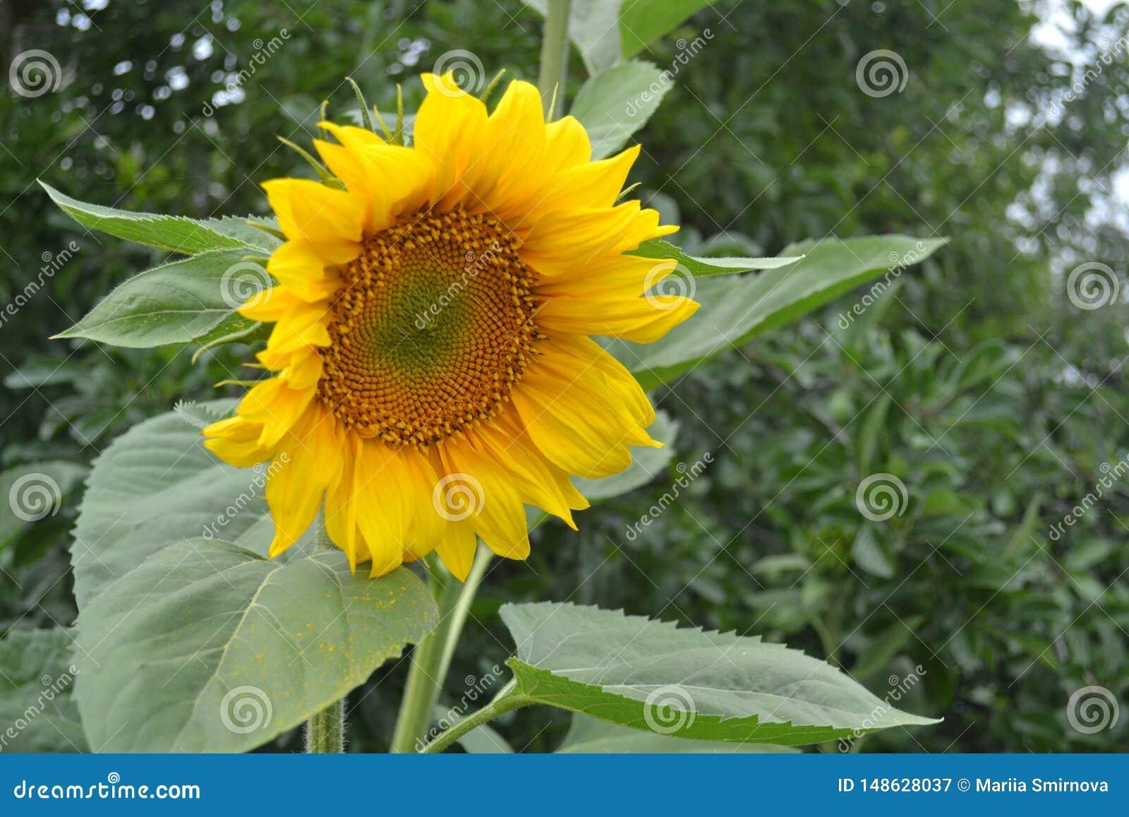 Bloem van gele zonnebloem