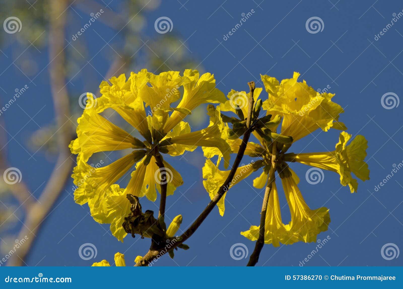 Bloem van Gouden Trompetboom
