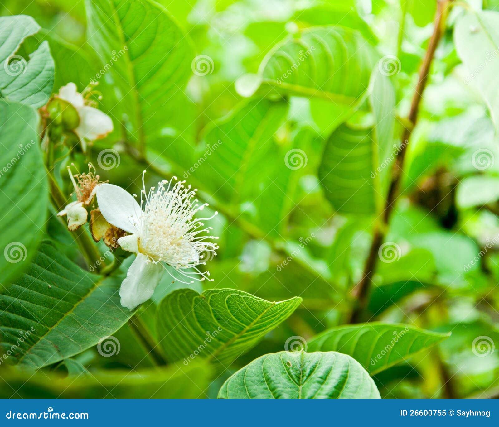 Bloem van guaveboom