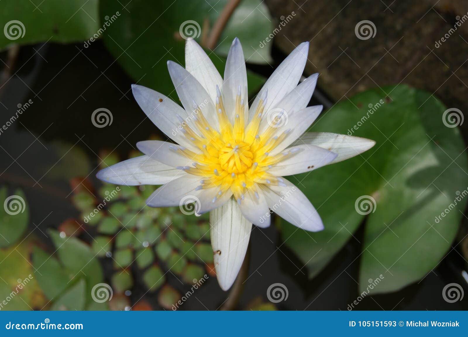 Bloem van lotusbloem