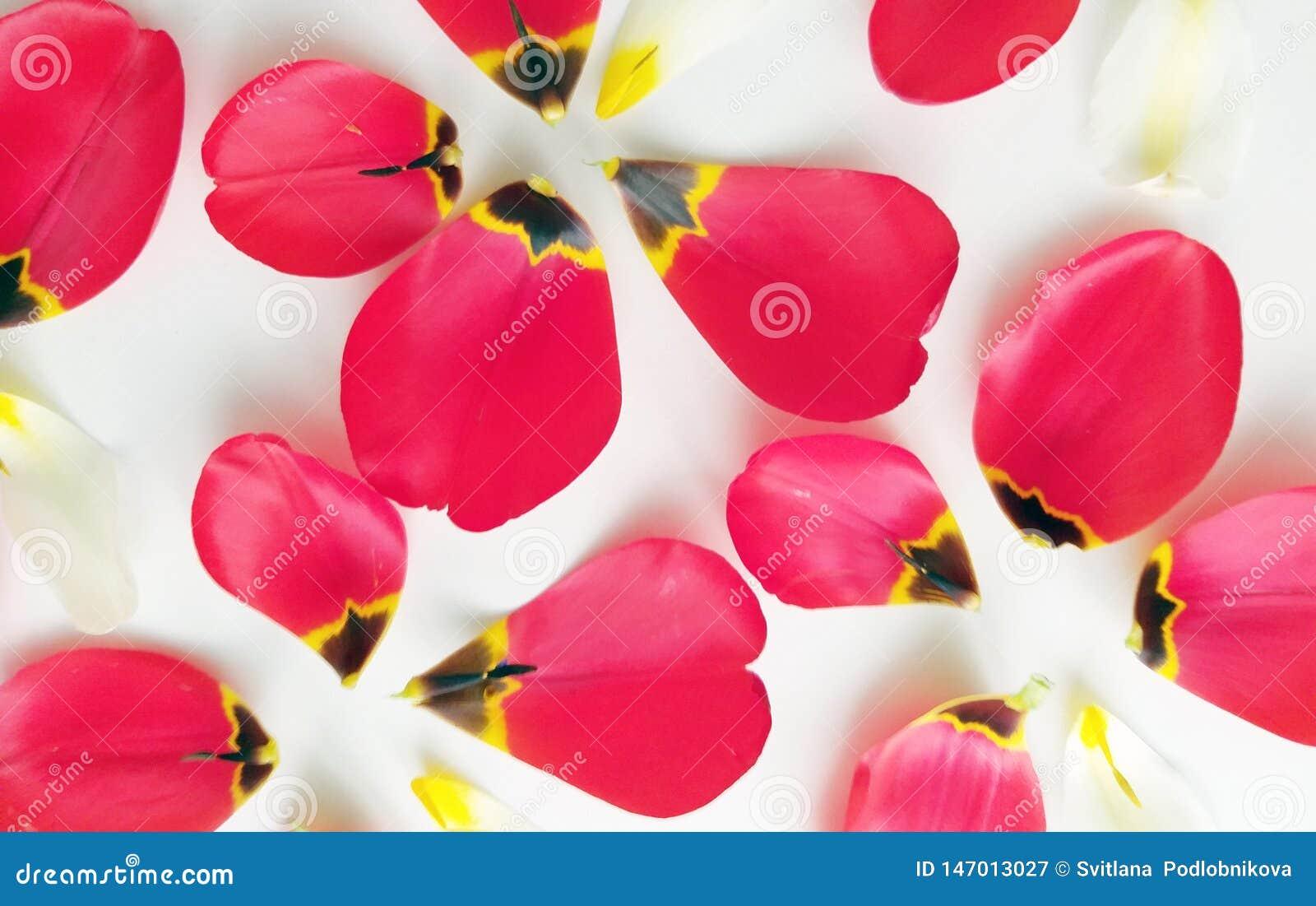 Bloemachtergrond met bloemblaadjes van tulpen