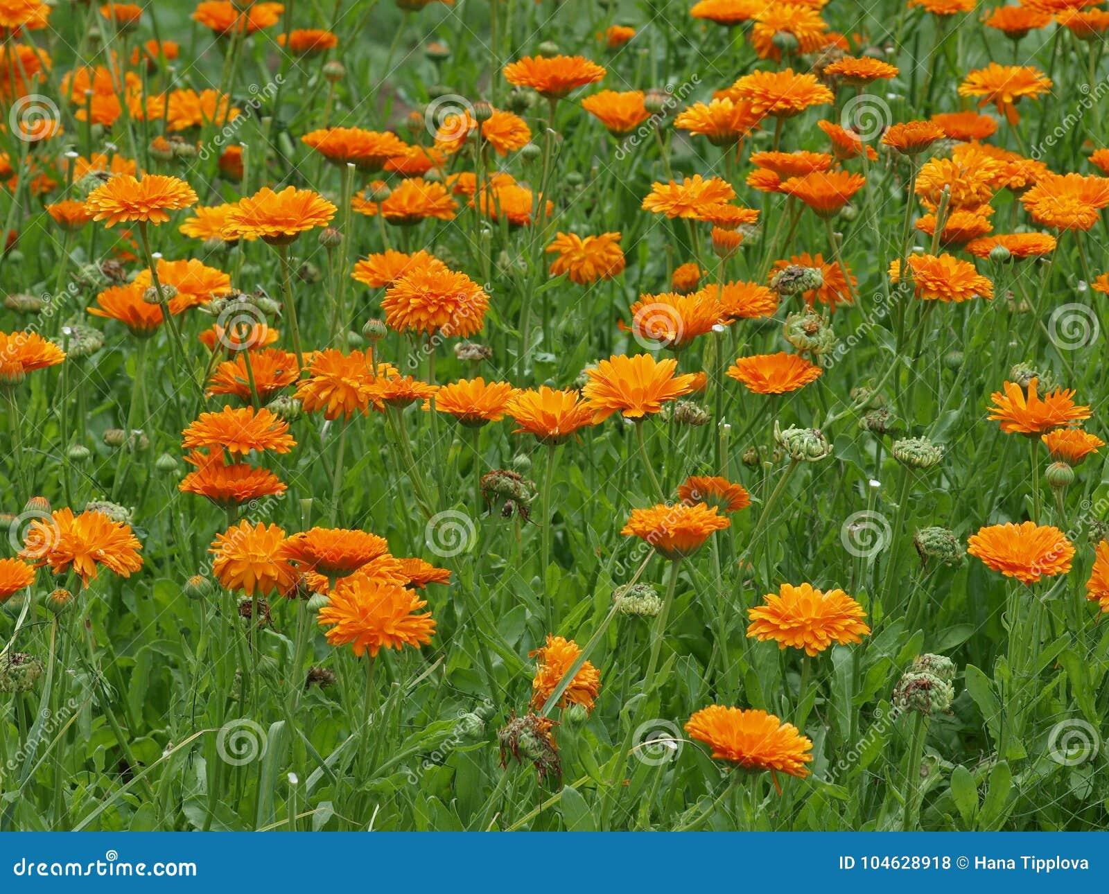 Download Bloembed Van Een Bloemgoudsbloem, Botanische Tuin Van Hradec Kral Stock Foto - Afbeelding bestaande uit stam, bloem: 104628918