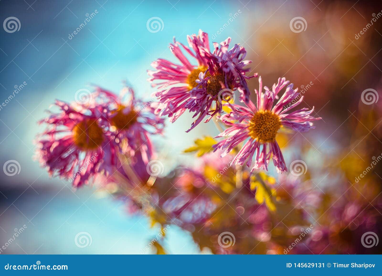 Bloemen die van nachtvorst bij vroege de winterochtend terugkrijgen