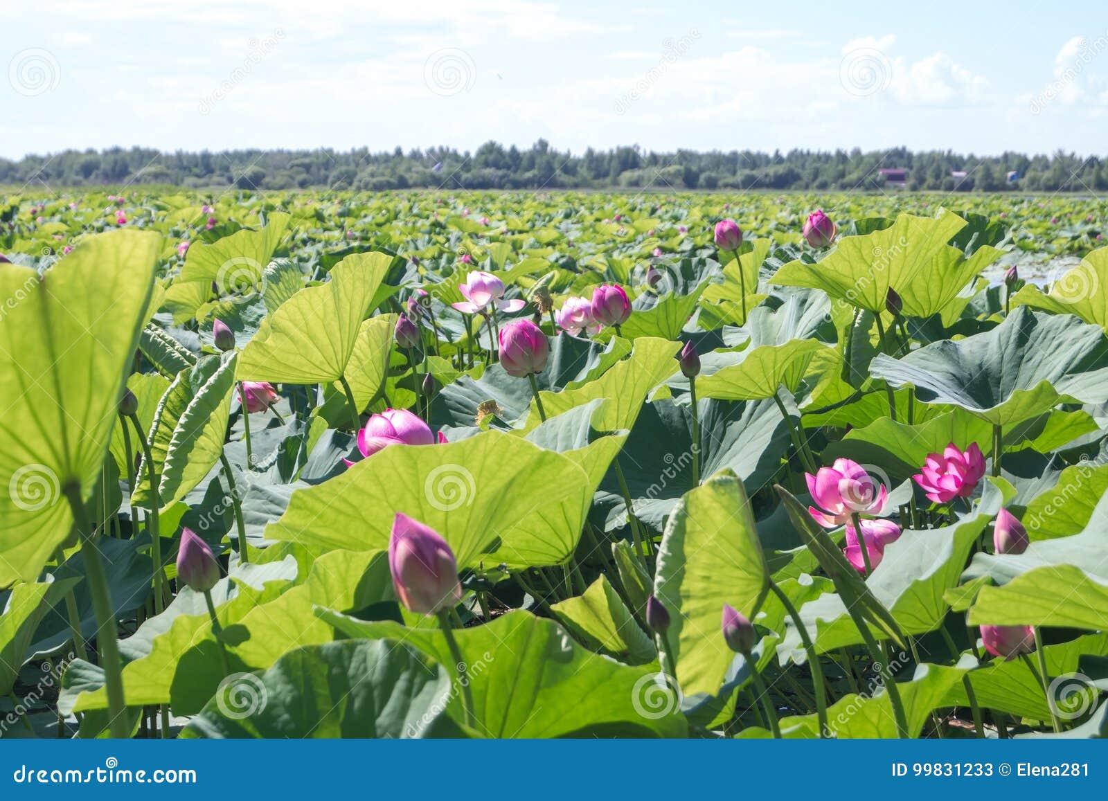 Bloemen en groene bladeren van lotuses