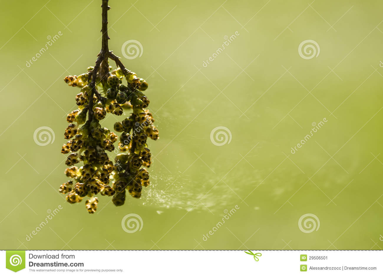 Bloemen en vliegende sporen van Taxodium distichumboom, kale cypre