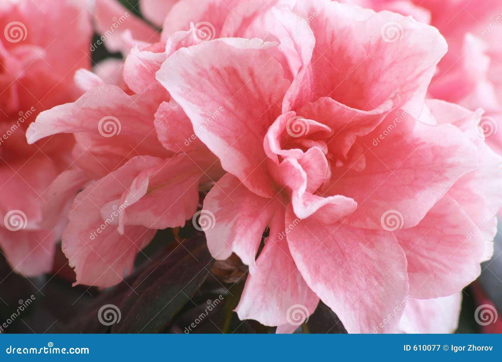 Bloemen van Azalea