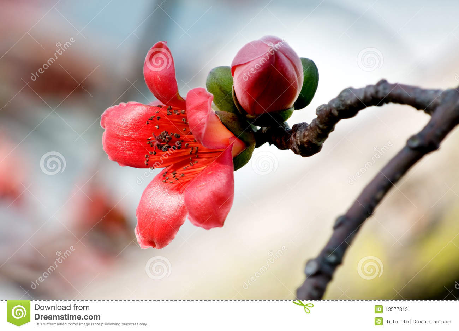 Bloemen van ceiba