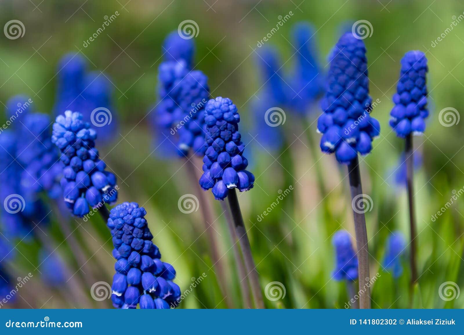Bloemen van de lente Muscariclose-up, blauwe, purpere bloemen