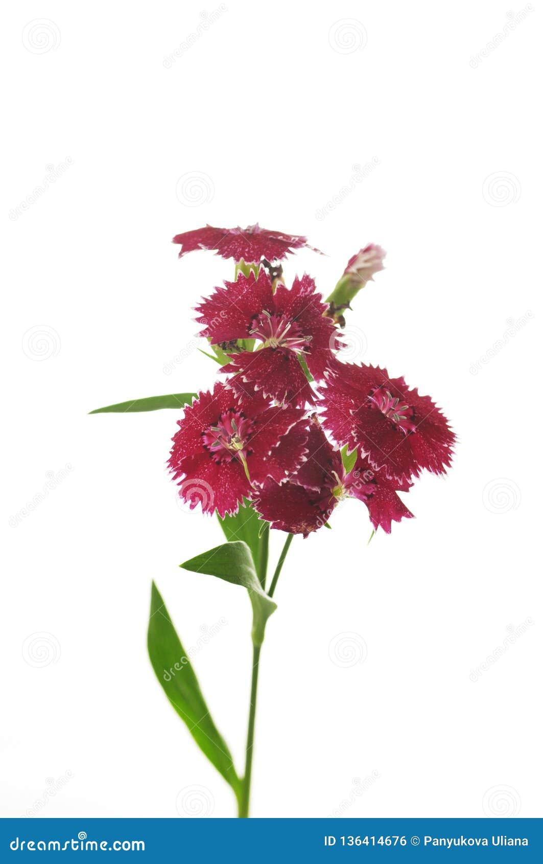 Bloemen van dianthus op een witte achtergrond