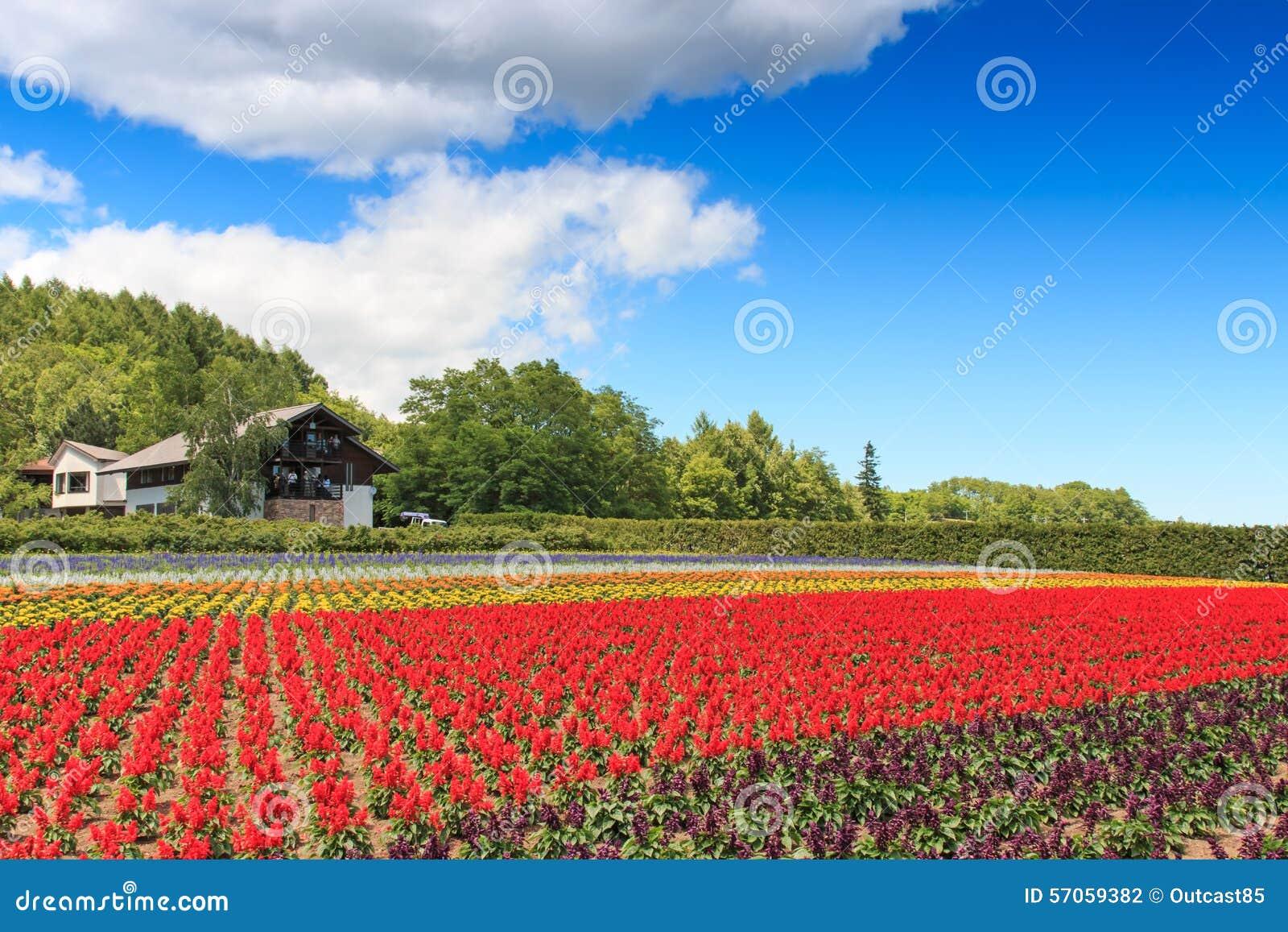 Bloemen van het Tomita-landbouwbedrijf in Hokkaido met sommige toeristen op achtergrond