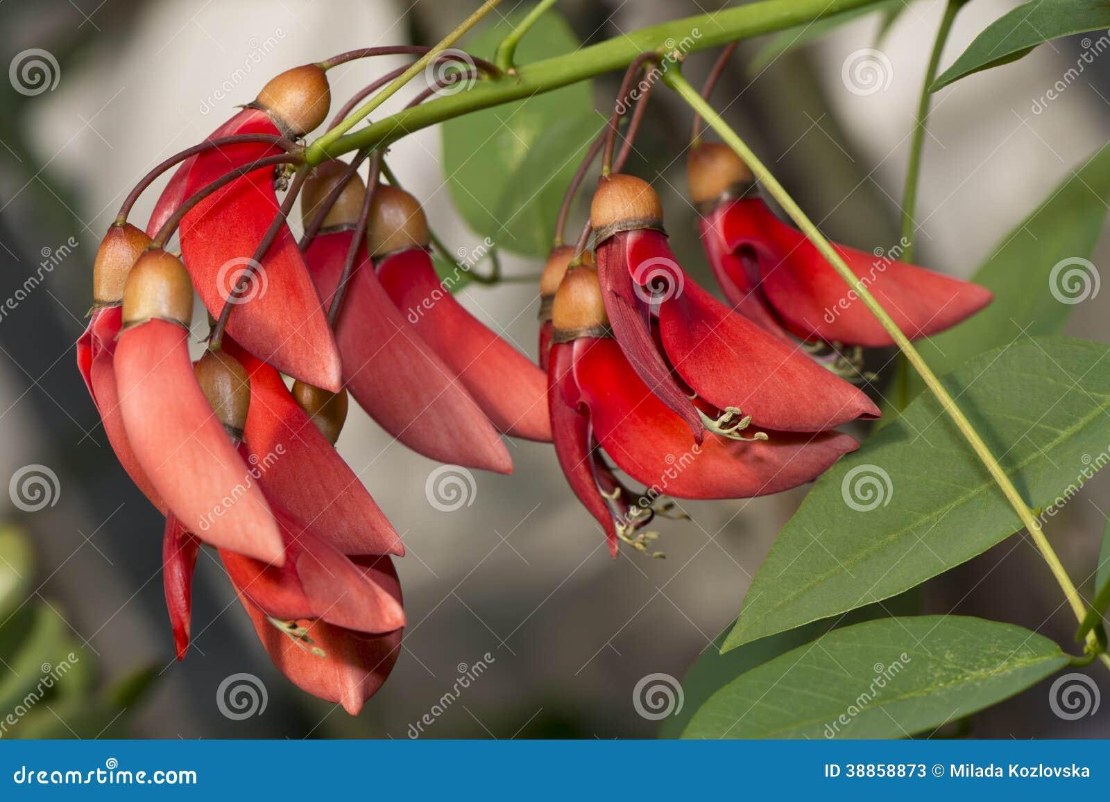 Bloemen van koraalboom
