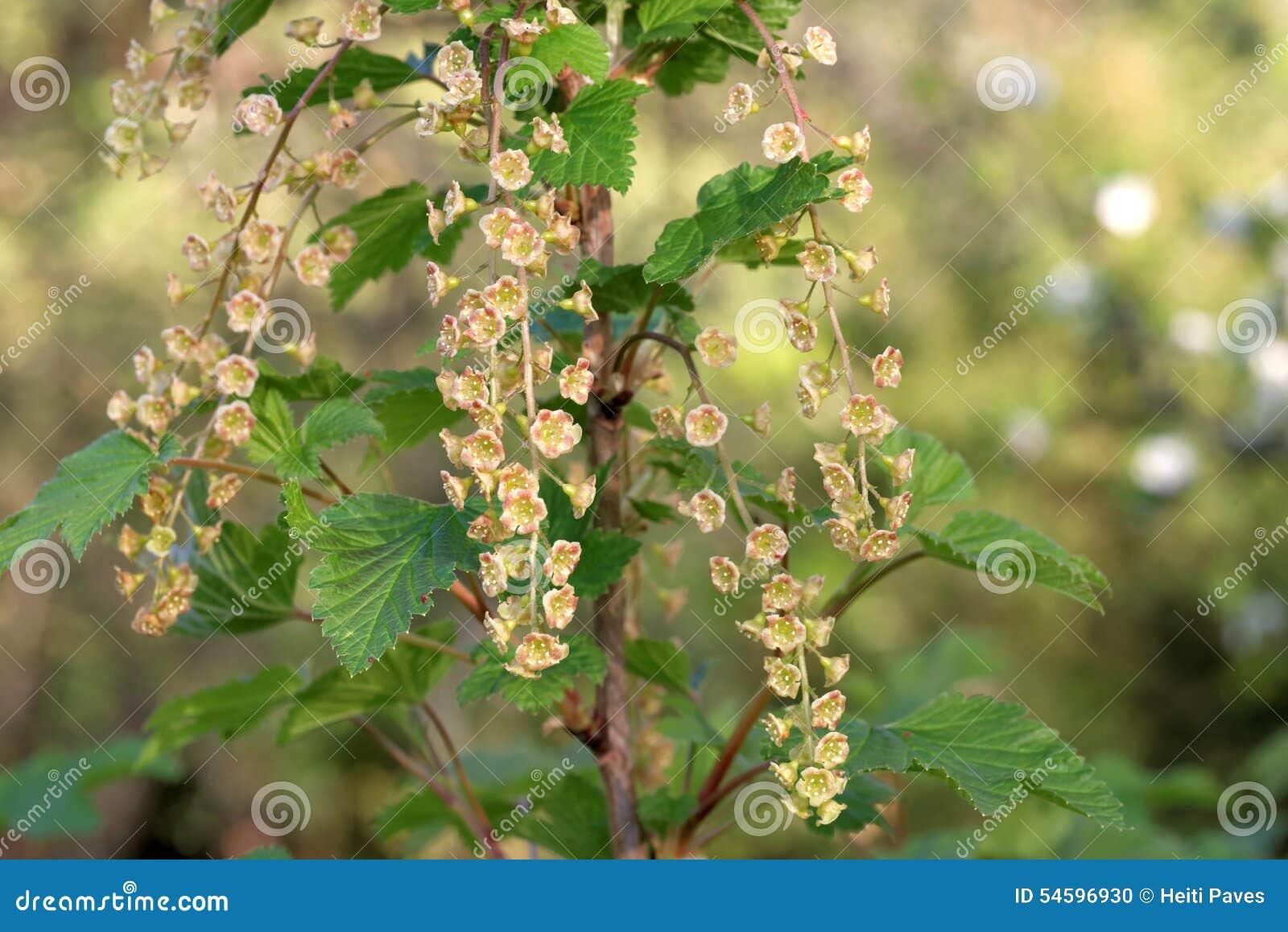 Bloemen van rode aalbes