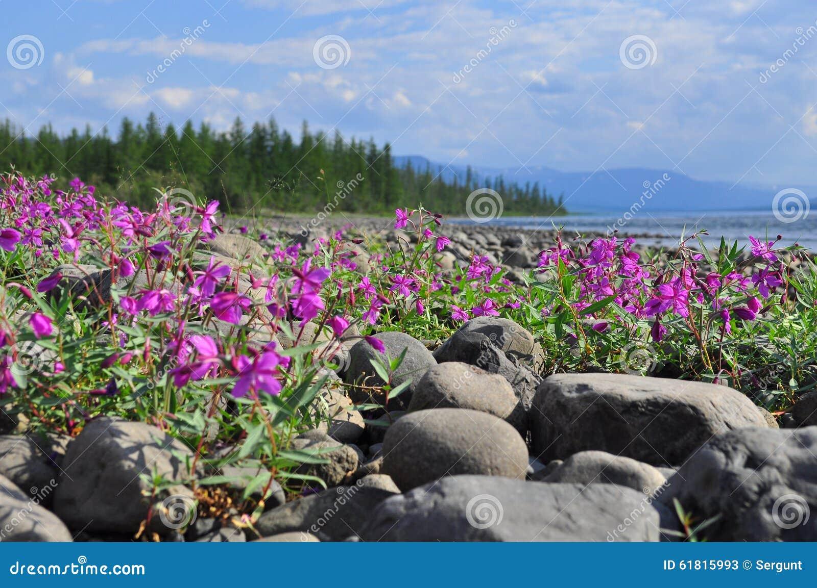 Bloemen van wilgeroosje op de keien door rivier