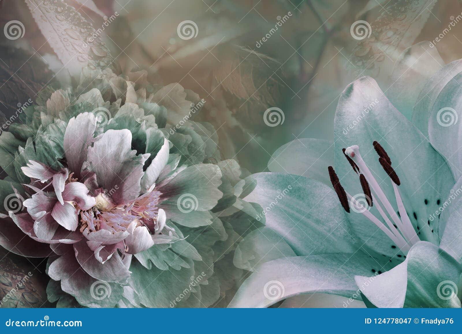Blom- bakgrund av turkosliljan och denvioletta pionen Blommar närbild på enturkos bakgrund vita tulpan för blomma för bakgrundssa