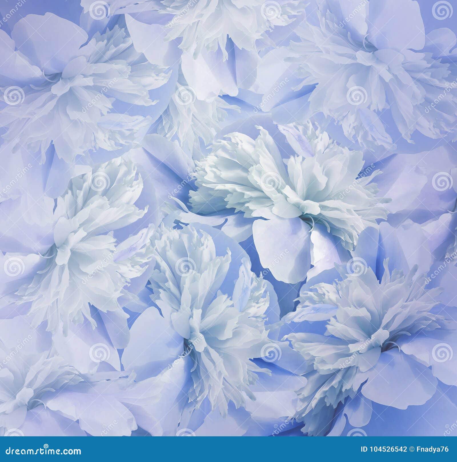 Blom- blåvit bakgrund Bukett av blommor av pioner Blått-turkos kronblad av pionblomman Närbild