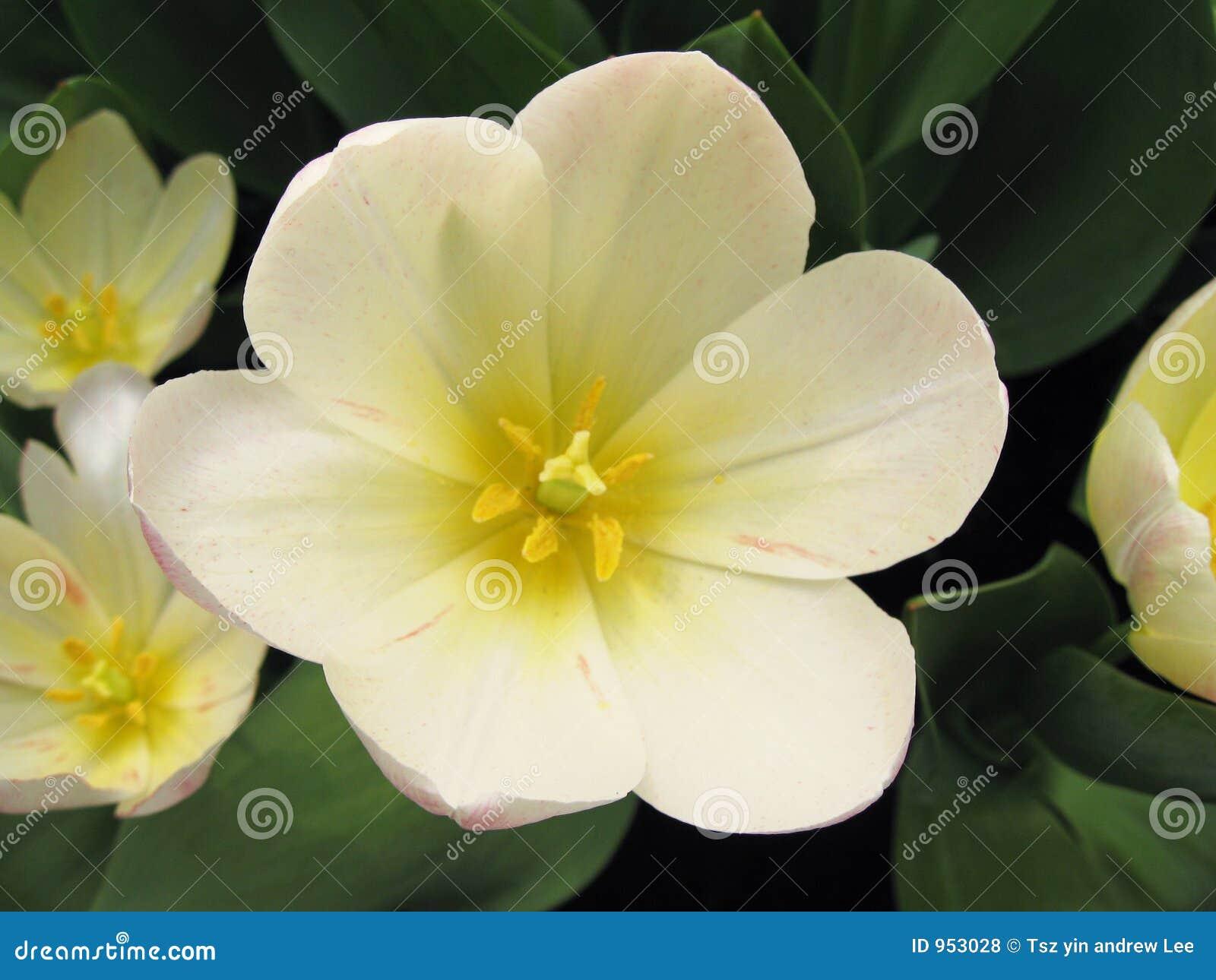 Blom blommar white