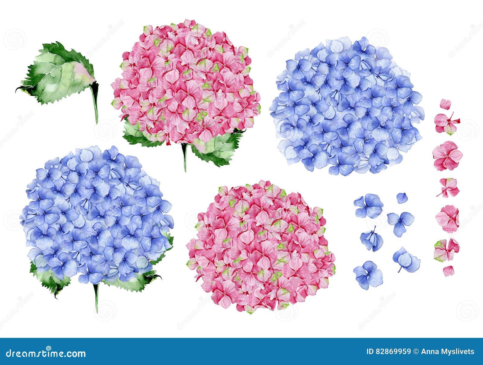Blom- design för blå och rosa vattenfärgvanlig hortensia