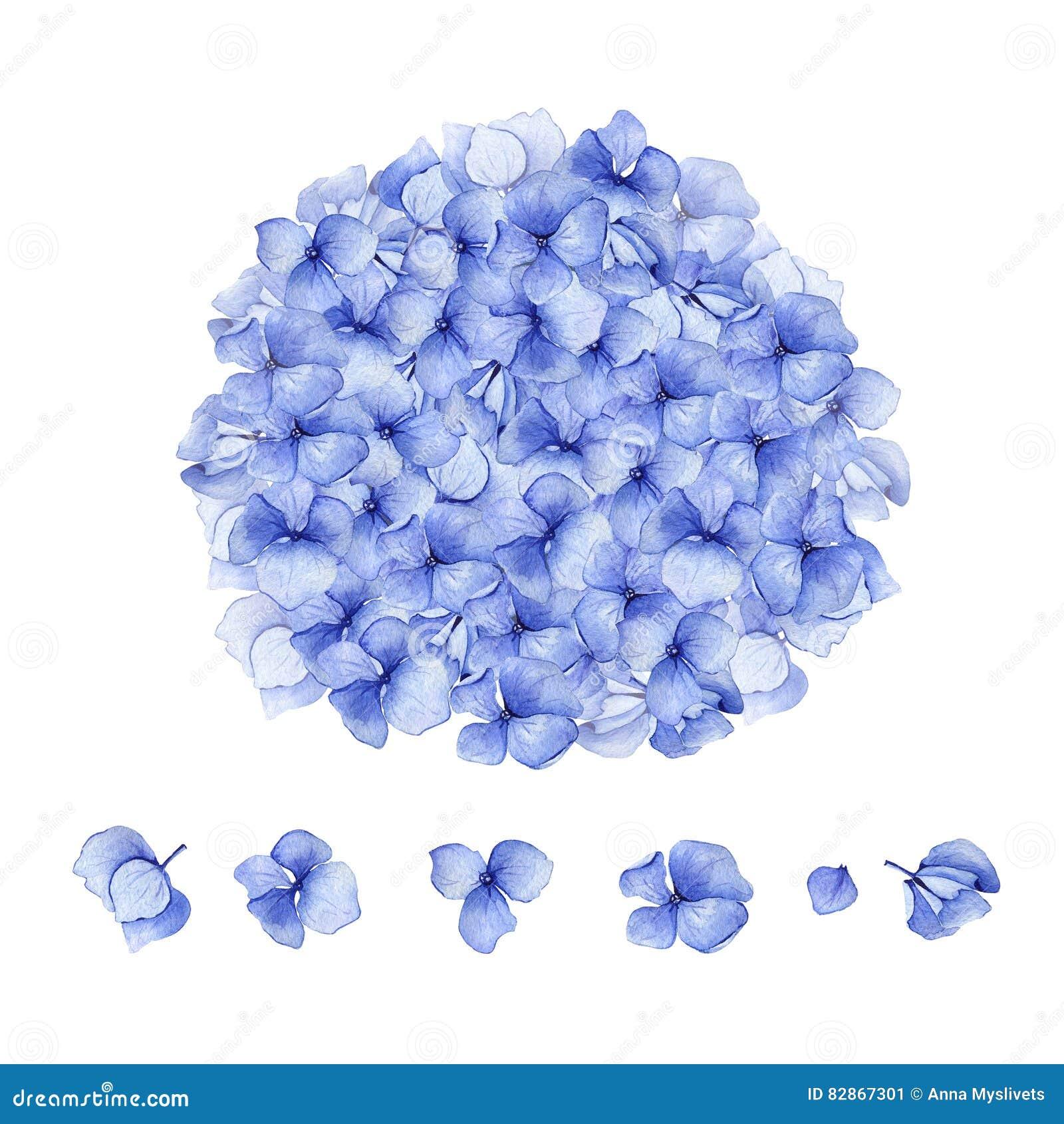 Blom- design för blå vattenfärgvanlig hortensia