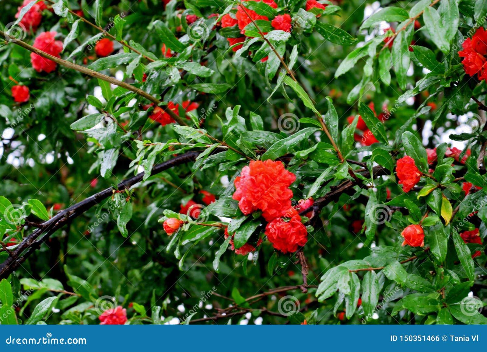 Blom för granatäppleträd med röda och rosa blommor